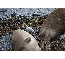 Egret and elephant seals, Piedras Blancas Photographic Print