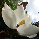 Magnificent Magnolia - 2 by Angela Gannicott