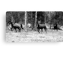 our brumbies - coming in for a bite :) Canvas Print