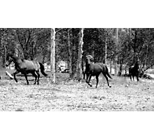 our brumbies - coming in for a bite :) Photographic Print