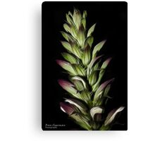 Acanthus in the evening Canvas Print