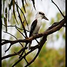 Kookaburra iPhone Case by Anna Ryan