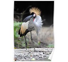 African Grey Crown Crane, Singapore.  Poster