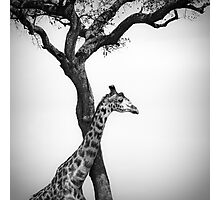 giraffe and a tree Photographic Print