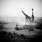 Giraffes in Amboseli national park, Kenya  by javarman