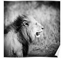 Old lion, Masai Mara, Kenya  Poster