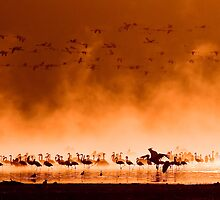 Flocks of flamingos at sunrise by javarman