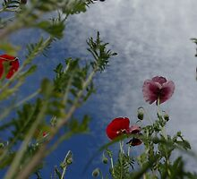 poppys from a beetles view by Martina  Stoecker