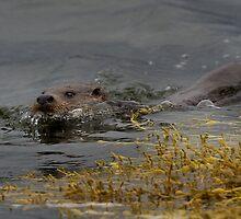 Scottish otter swimming by wildlifephoto