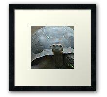 Giant turtle, Galapagos islands, Ecuador Framed Print