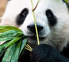 Panda eating bamboo by javarman