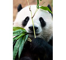Panda eating bamboo Photographic Print
