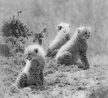 Cheetah's cubs, Masai Mara, Kenya by javarman