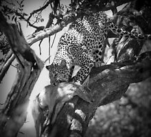 Leopard eating impala by javarman