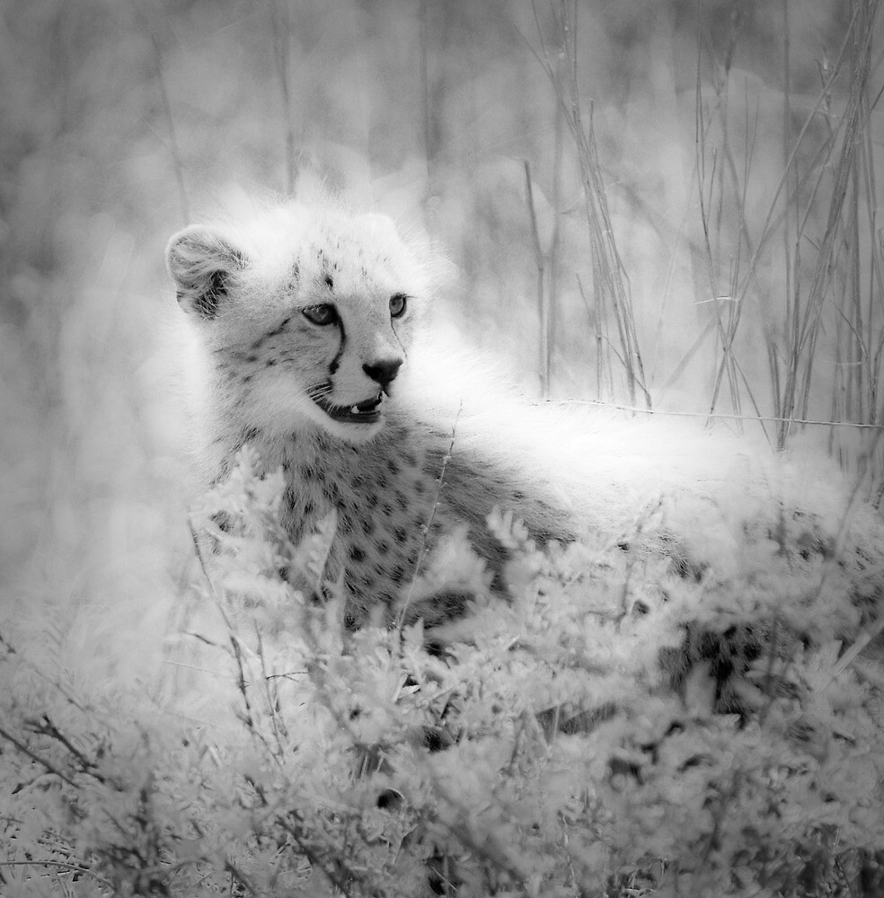 Cheetah's cub by javarman
