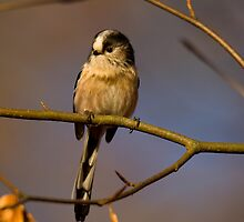 Long tailed tit by Jon Lees