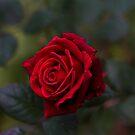 Rose in November! by Marie Moriscot