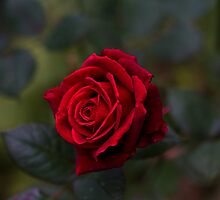 Rose in November! by Marie Moriscot