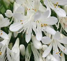White Agapanthus by STHogan