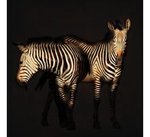 zebras on black Photographic Print