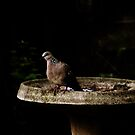 Diamond Dove Bird By The Bird-Bath by Evita