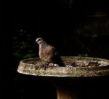Diamond Dove Bird By The Bird-Bath by Evita
