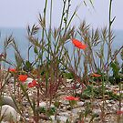 Poppies By the Sea - Antibes , France by mikequigley