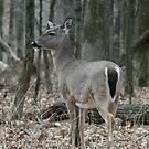 White Tail Deer by eaglewatcher4