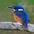 AZURE KINGFISHER by DIZZYHEIGHTS