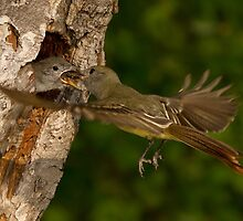 Great-crested Flycatcher Mid-air Food Exchange. by Daniel Cadieux