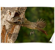 Great-crested Flycatcher Mid-air Food Exchange. Poster
