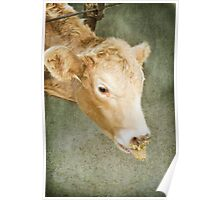 Cow Chow Poster