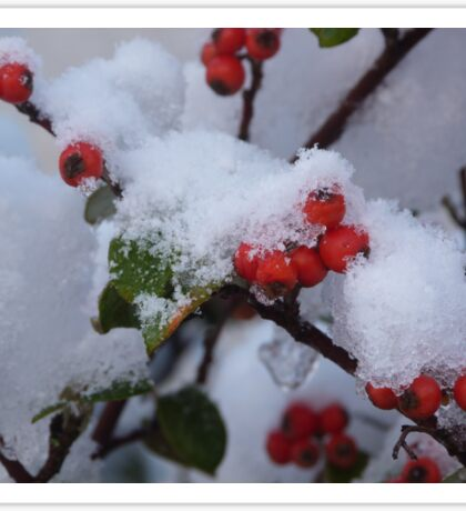 Red Berries in the Snow Sticker