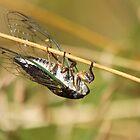 Cicada by Alinka