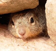Gopher peaking out from under a rock, Grand Canyon hike by bethischeery