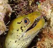 Dark-spotted moray - Gymnothorax fimbriatus by Andrew Trevor-Jones