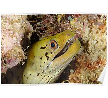 Dark-spotted moray - Gymnothorax fimbriatus Poster