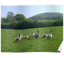 Cotswalds, free range geese in a field, England Poster
