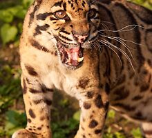 Clouded Leopard by Karl Thompson
