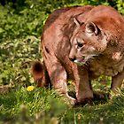 Mountain Lion by Karl Thompson