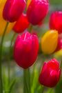 Tulips in the Breeze #3 by Elaine Teague