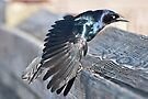 Grackle struts for his mate by barnsis