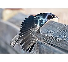 Grackle struts for his mate Photographic Print