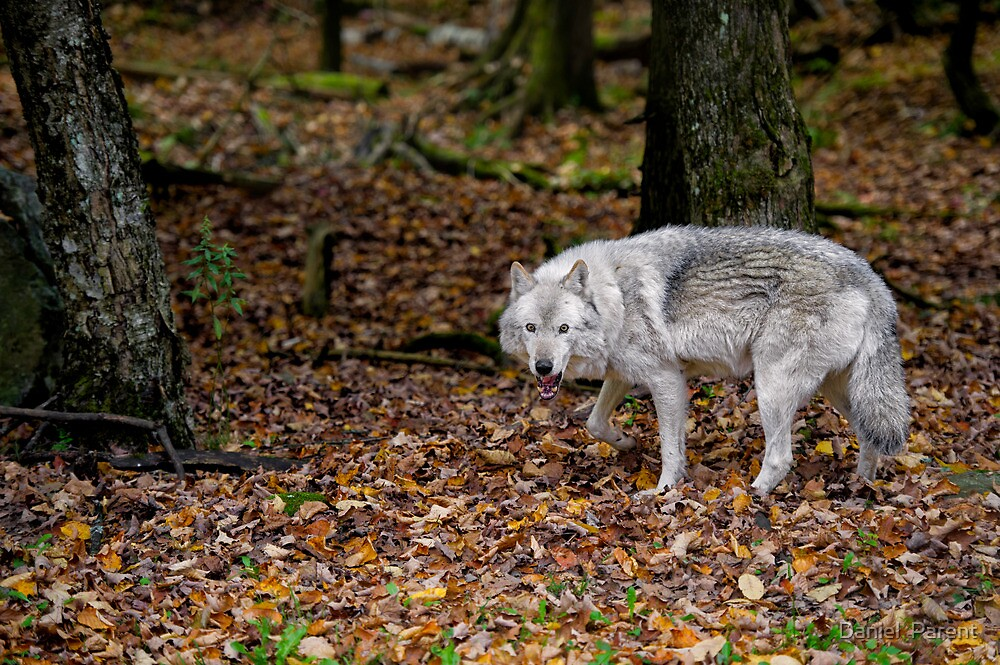 Lone wolf on the move by Daniel  Parent