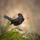 Blackbird on moss rock by M.S. Photography/Art