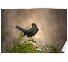 Blackbird on moss rock Poster