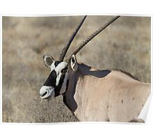 Gemsbok chewing the grass Poster