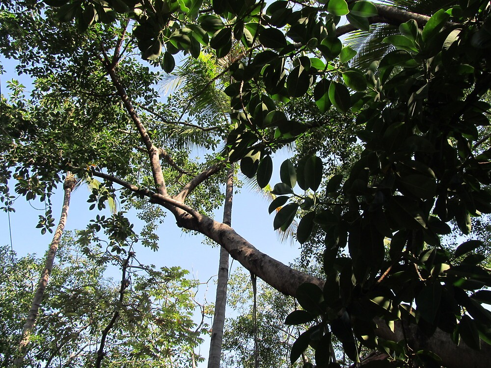 The huge rubber tree at the Isla Cuale - El Gomero Grandote, Puerto Vallarta, Mexico by PtoVallartaMex