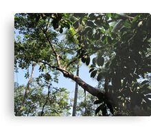 The huge rubber tree at the Isla Cuale - El Gomero Grandote, Puerto Vallarta, Mexico Metal Print