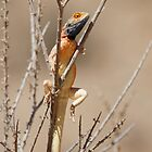 Southern Rock Agama by Will Hore-Lacy